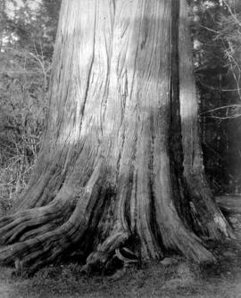 Cedar Tree in Stanley Park - 46 feet in circumference