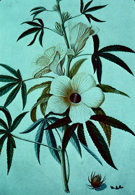 Botany : Hibiscus cannabinus by G.D. Ehret