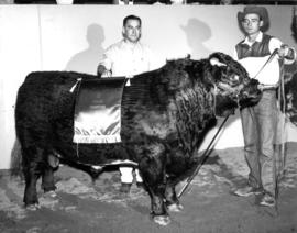 Grand champion Shorthorn in 1967 P.N.E. Livestock competition