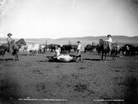 "Branding cattle.  ""J.L."" Ranch, Maple Creek, N.W.T."