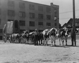 Old time cariboo bull team and freight wagon
