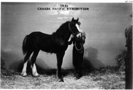 Man with draft horse foal in Livestock building
