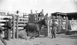 [Horse being released from a holding pen at the Callister Park rodeo]