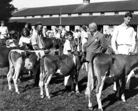 Youth and cattle in Junior Farmers livestock competition