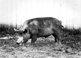 Grazing swine from swine competition