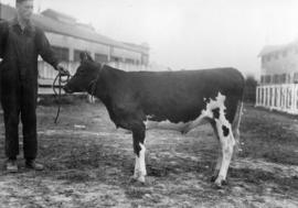 Man with black-and-white cattle by cattle barn