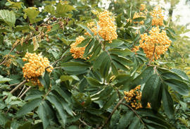Sambucus racemosa : Yellow Form [at] Minnekada Ranch (Port Moody)