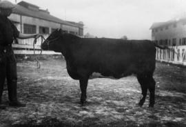 Dark-colored cattle owned by Shannon brothers by cattle barn