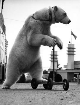 Trained polar bear on scooter by Exhibition Park main entrance gates