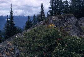 Habitat : Sub Alpine Meadow Hurricane Ridge Washington U.S.A.