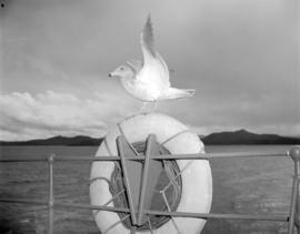 [Seagull on ship near] Pacific Mills [on the] Queen Charlotte Islands