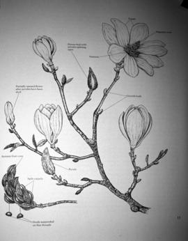 [Depiction of magnolias in various stages of growth]