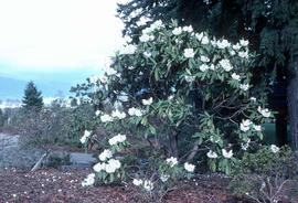 [Rhododendron] calophytum