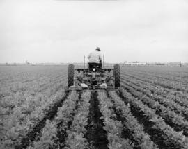 Frank Kettle's cultivating
