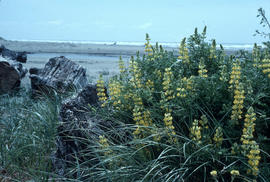 Lupinus arborescens, Oregon coast