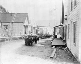 [Cattle drive down Main Street]