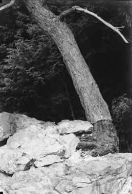 Rock splitting tree - Bowen Island