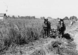 Beet seed operations: cutting beet seed with horse drawn mower A.A. Myers field, Talbot section