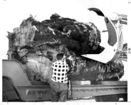 Festival of Logging 1966 : [large log being lifted onto truck with heavy machinery]