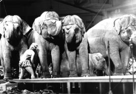 Elephants performing in circus act
