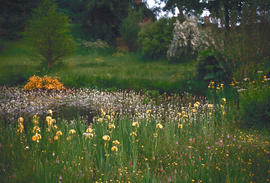 Gardens - United Kingdom : Great Dixter, Bottonia palustris, water violet, Iris pseud