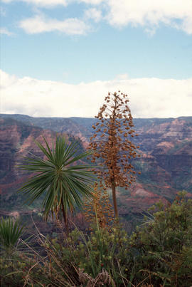 Wilk[e]sia gymnoxyphium : green sword, Waimea Canyon