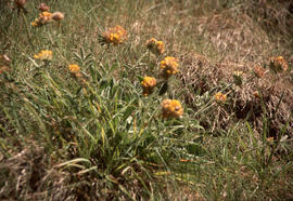 Anthyllis vulneraria : kidney vetch, rare, Sark