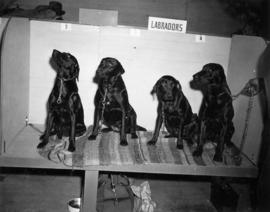 Four black Labradors in dog show stall