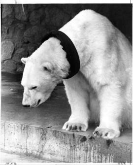 Polar bear from Stanley Park Zoo with rubber tire around its neck