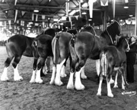 Groomed draft horses in Livestock building