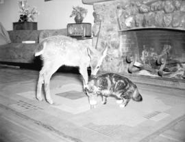 [A fawn and a cat inside Forbidden Plateau Lodge]