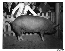 Large sow in pen and onlooking crowd