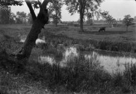 [Cow grazing near a stream]
