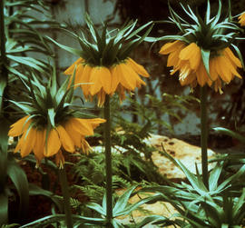 Close up of Fritillaria imperialis, maxima lutea