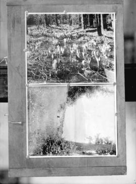 "One negative with two images: Skunk lilies, Stanley Park, Vancouver, B.C. and ""Midsummer&quo..."