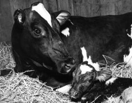 1966 Livestock : [cow with calf]
