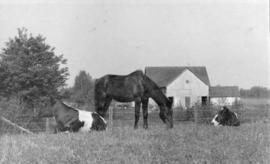 [Cows and a horse in Shaughnessy]