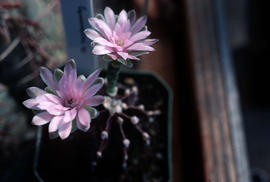 Cacti and Succulents : Gymnocalycium SP.