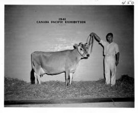 Man with Jersey cow in Livestock building