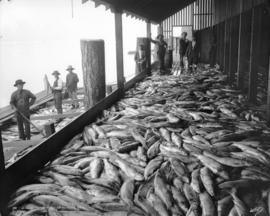 Unloading Salmon at a Cannery, Fraser River