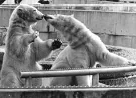 [Polar bears in their enclosure at the zoo]