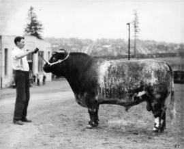 Man with bull by Livestock building