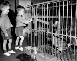 Young boys looking at caged geese