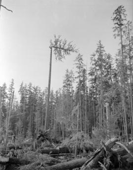 [View of tree topping for] Pacific Mills [on the] Queen Charlotte Islands