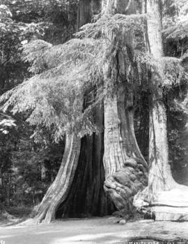 [Hollow Tree] Stanley Park