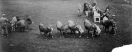 Cattle lined up for showing in livestock competition