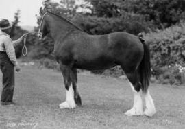 Miss Modesty : [draft horse with handler]