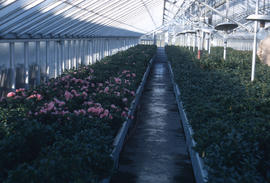Propagation : greenhouse propagation, Rhododendrons and azaleas
