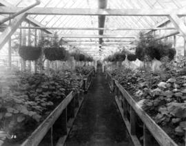 [Interior of geranium greenhouse, Brown Bros. Florists]
