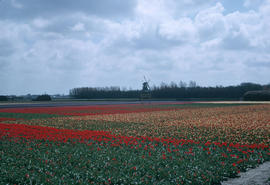 Landscape - general : tulip fields (Holland)